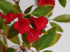 C_11_March_RHODODENDRON_vialii_01-300x225