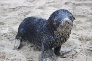 seal-pup-3474915_960_720